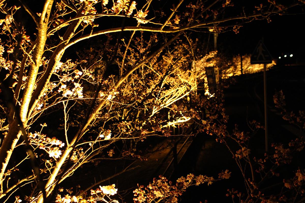 カヤック 夜桜